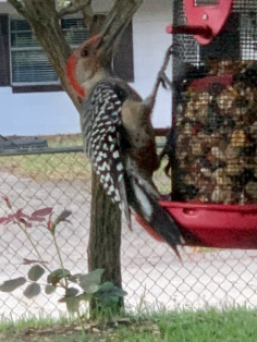 The is 1 part of 2 pair of Red Bellied Wood Peckers that visit this red feeder.