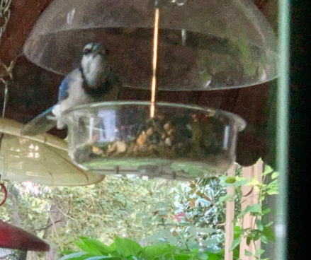Blue Jay in Clear Feeder