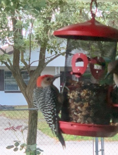 Red Bellied Woodpecker shopping at red feeder.